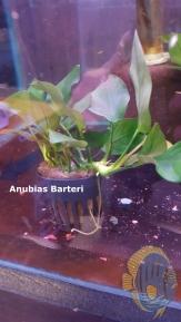 Anubias.barteri[1]