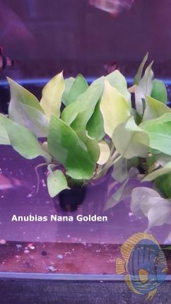 Anubias.golden.nana[1]