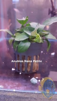 Anubias.nana.petite[1]