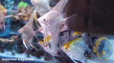assorted.angelfish