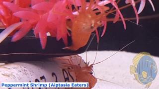 peppermintshrimp
